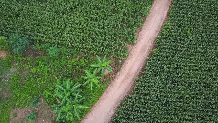 corn farm at countryside of Thailand, Aerail view