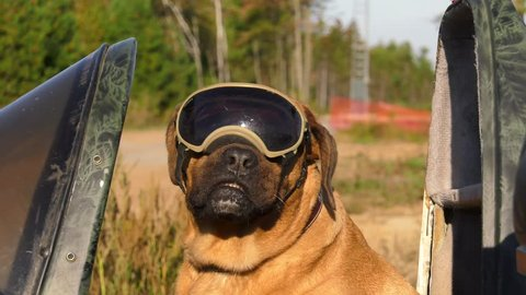 cute mastiff dog wearing goggles in motorcycle sidecar 4k slow
