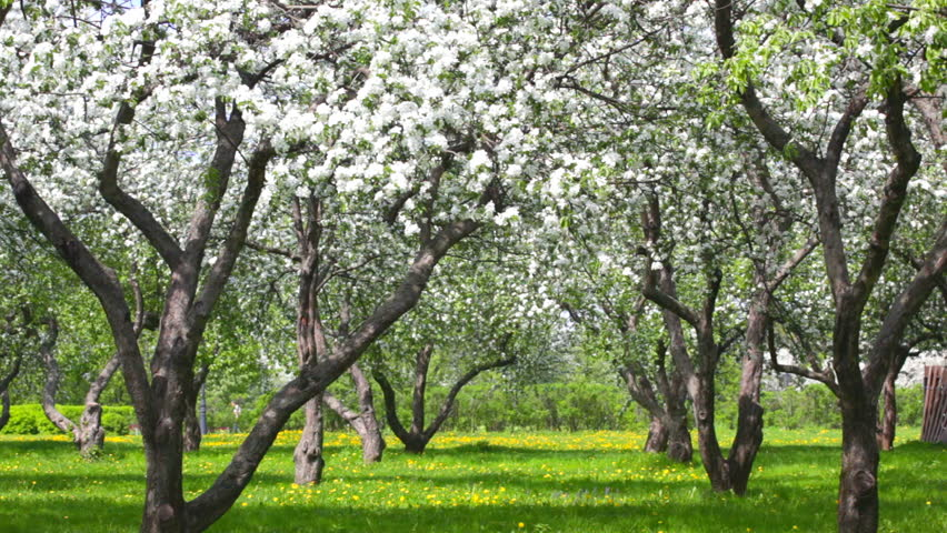 Beautiful Blossoming Apple Tree Garden