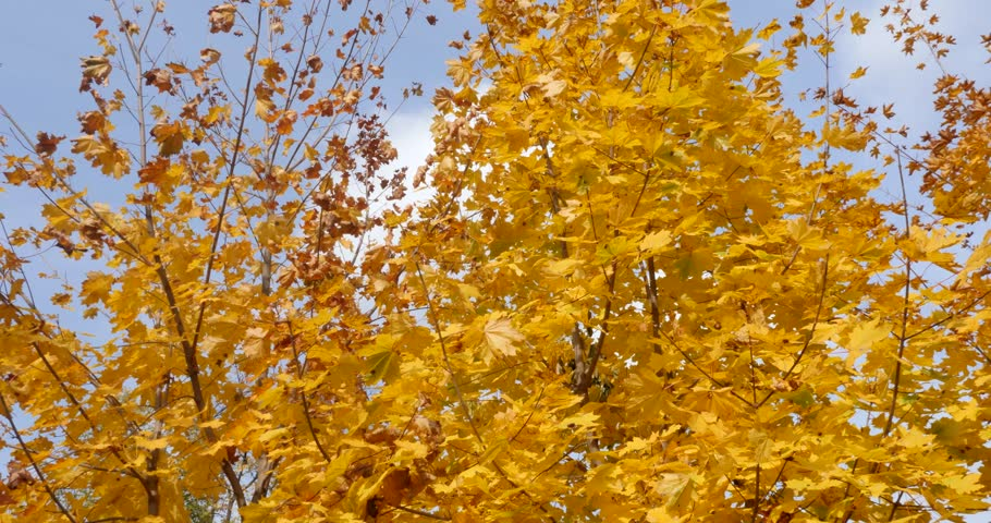 Bright yellow maples in autumn | Shutterstock HD Video #33383179