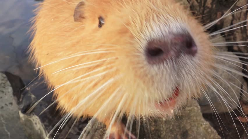 Coypu, river rats, eating, grooming, feeding, playing on the river bank. Fluffy furry cute and cuddly animals asking for food, touching camera lens, sniffing. Swan attacks coypu. | Shutterstock HD Video #33421999