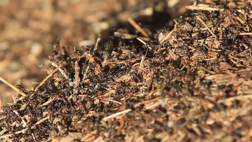 black ants working on their ant hill