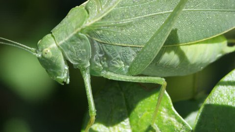 Macro of Katydid moving slowly over leaves.