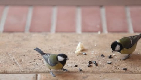 The battle for seeds. Several large tits fly up to a bunch of sunflower seeds on the floor take one at a time and fly away. Two tits began to fight.