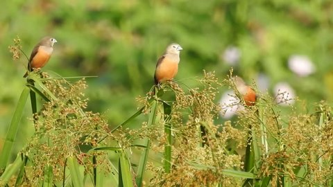 Pale headed munia driven out while perched on wild grain plants by a male streaked weaver in west sumbawa, west nusa tenggara, indonesia