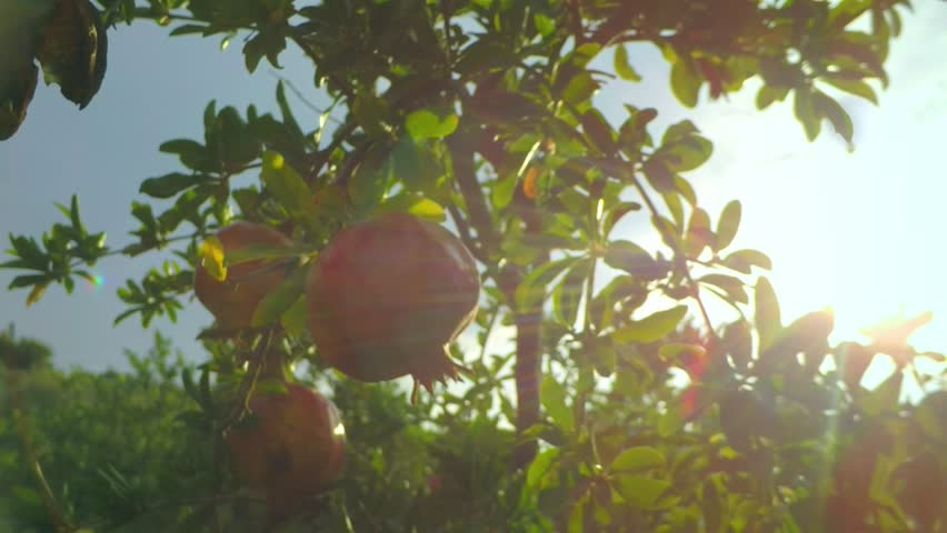 sunshine lying on Garnet tree after the rain