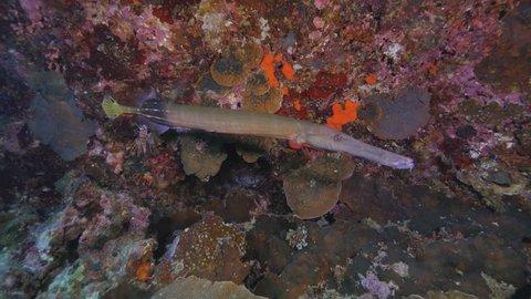 Pair of Trumpetfish, Aulostomus chinensis