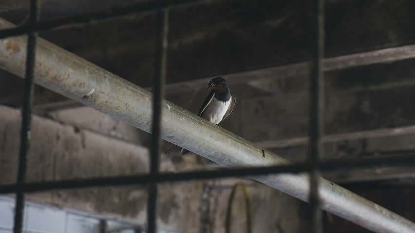 A small bird standing on a metal pipe located in the interior of a farm house. The bird is holding twigs in its beak.