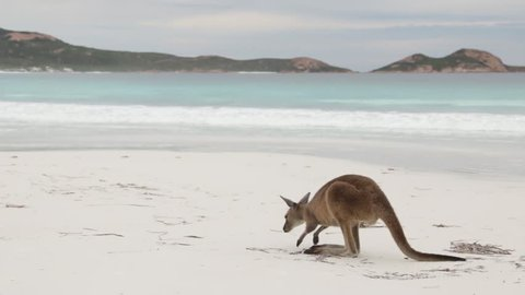Close up of kangaroo on beach being stroked in Lucky Bay Cape le Grand NP Western Australia