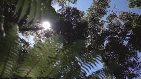 New Zealand Forest Canopy with Ferns Slow Motion