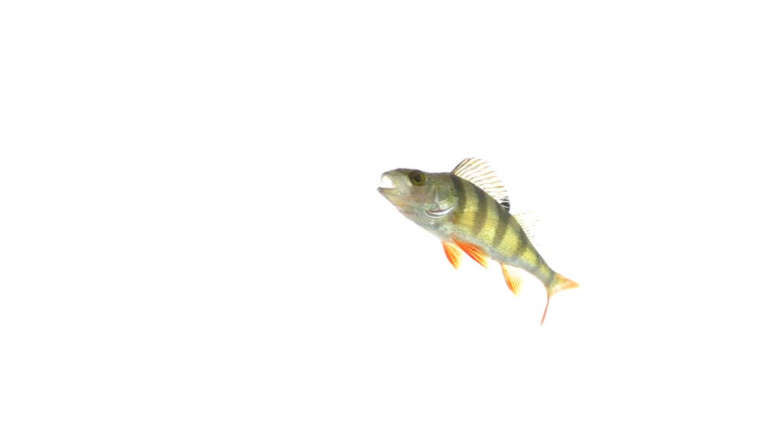 Fish under water, isolated on white background   Shutterstock HD Video #33866326