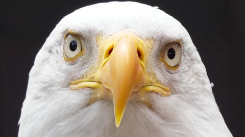 north america bald eagle slow motion