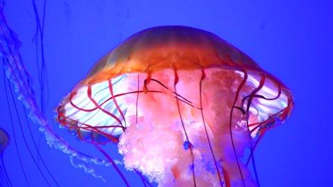 4K Very Large Jellyfish Orange Body Blue Water Background Slow Motion