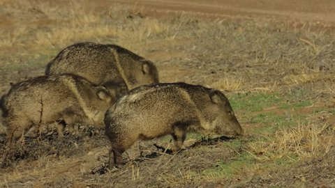 Three Collared Peccary are feeding in the safety of Bosque del Apache Wildlife Refuge. New Mexico.