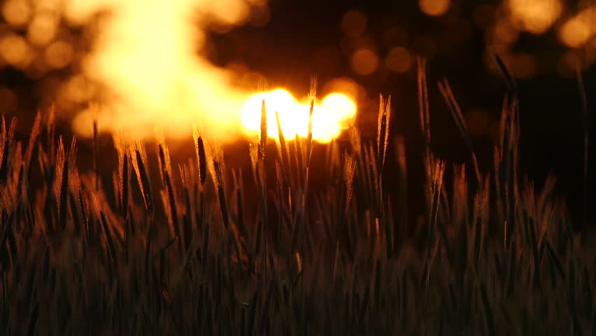 Sunset behind the silhouette of a corn field. Wheat swaying in a gentle breeze. Wheat at sunset. Cornfileld in the beautiful late evening sunshine.  Crop of Cereals . Wheat Harvest. Ears of wheat | Shutterstock HD Video #33984889