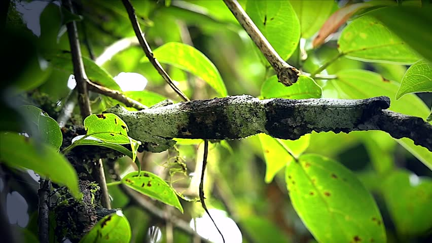 Mossy Leaf-tailed Gecko (Uroplatus sikorae) in Ranomafana National Park, Eastern Madagascar. Watch as gecko reveals itself on branch.  Leaves, branch, forest, foliage, tree, rain.
