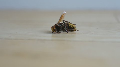 Dying European hornet Vespa crabro on bright wooden floor