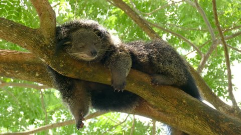 Lazy bearcat sleeping on a branch of tree