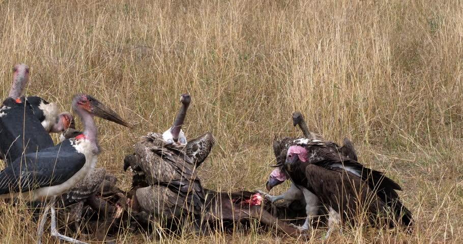 African White Backed Vulture, gyps africanus, Ruppell's Vulture, gyps rueppelli, Lappet Faced Vulture, torgos tracheliotus, Marabou Stork, leptoptilos crumeniferus, Group eating on Carcass, Masai Mara
