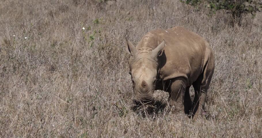 White Rhinoceros, ceratotherium simum, Calf eating Grass, Nairobi Park in Kenya, Real Time 4K