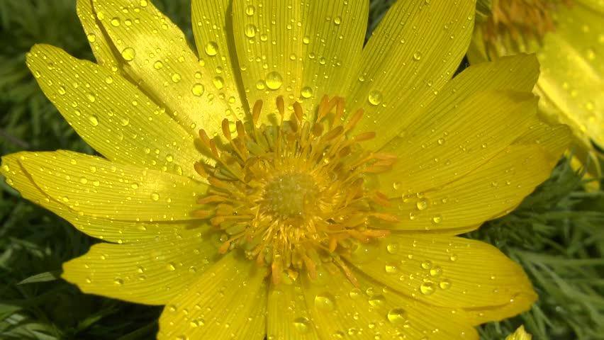 Spring: large flowers of yellow pheasant's eye (Adonis vernalis) in the morning dew.