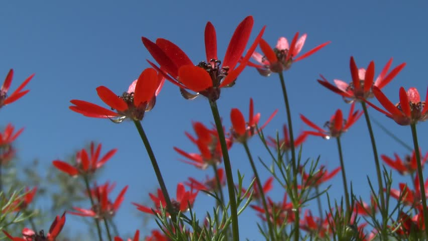 Red flowers of summer pheasant's-eye (Adonis aestivalis) against a blue sky, medium shot.