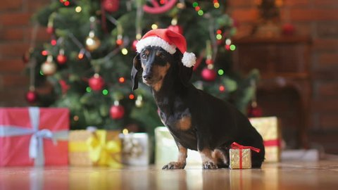 funny little dog in santa claus hat, sits on the floor with a gift box, on the background a festive Christmas tree