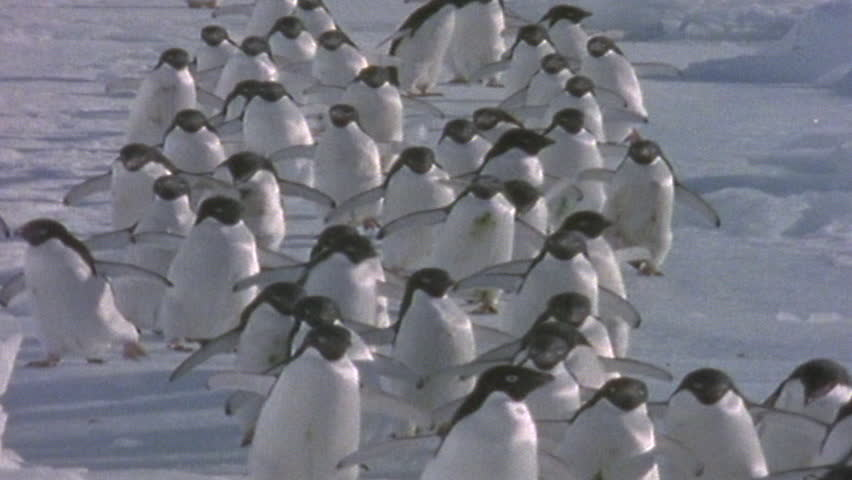 Adélie Penguins. Sequence.