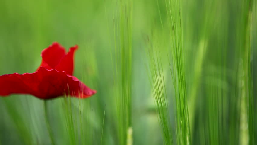 A red poppy appears into a green cornfield with a right to left pan.