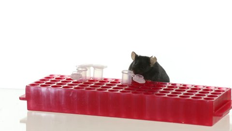 Obese and lean control mice play on a red tube rack and beaker, 100% slow motion and close up