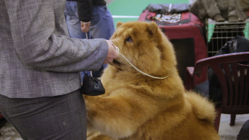 Fluffy Chow Chow dog standing on paws and asking for treats, woman feeding pet
