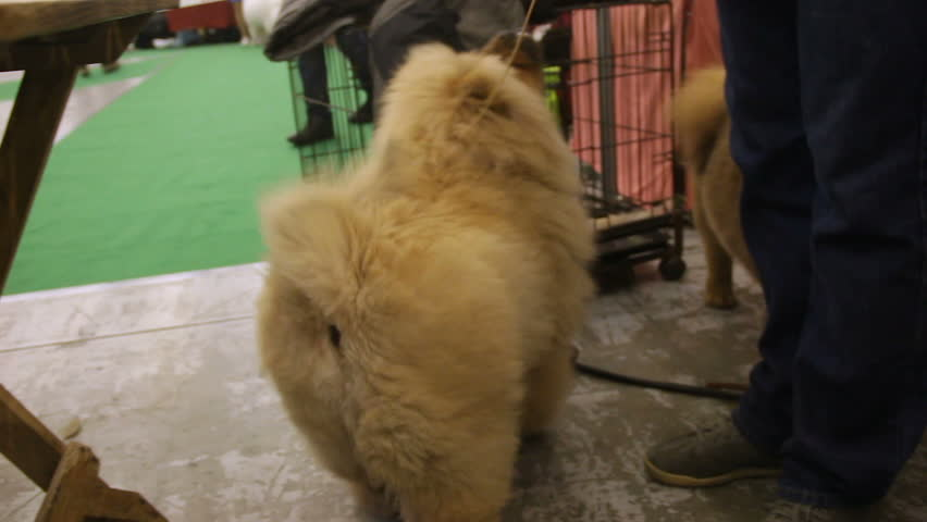 Purebred dog exhibition, attentive owner feds Chow Chow a treat, lovely pet