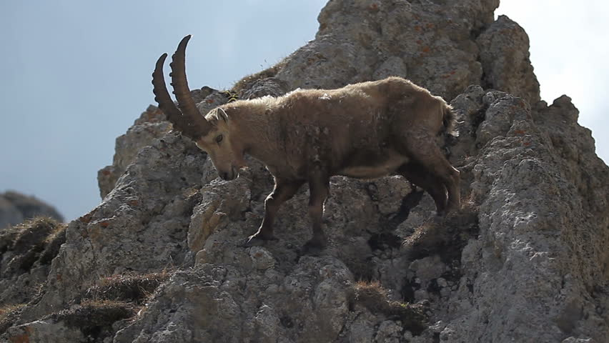 Wild goat with horns on top of a mountain in the Alps. Alpine ibex (Capra ibex). Beautiful alpine landscape