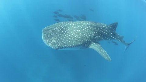 A young whale shark (Rhincodon types) cruises through the clear, sunlit waters of the the Caribbean Sea.