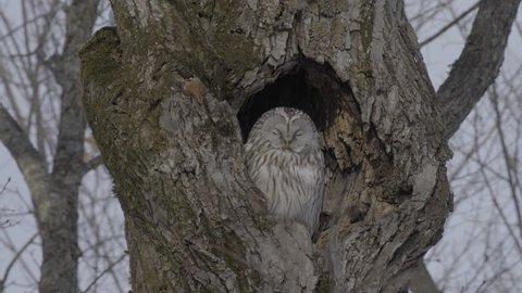 Ural Owl at Hokkaido, Japan