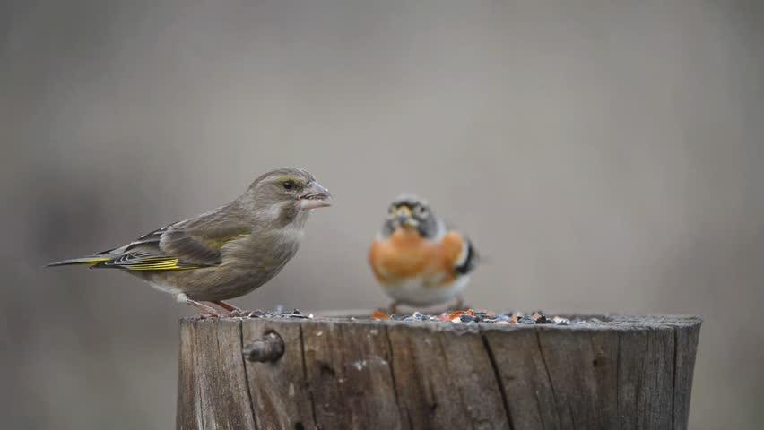 European Green finch (Carduelis chloris) and Brambling (Fringilla montifringilla) sitting on the winter bird feeder