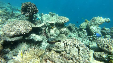 Ostraciidae swimming over reef. Boxfishes, coffer fish