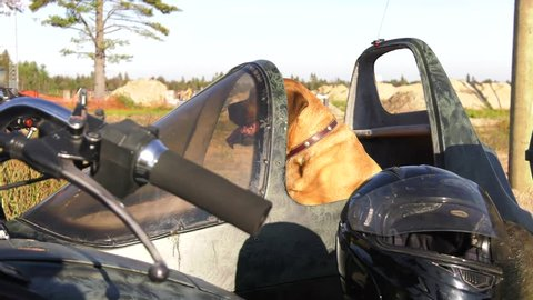 mastiff dog has goggles put on by motorcycle sidecar owner 4k