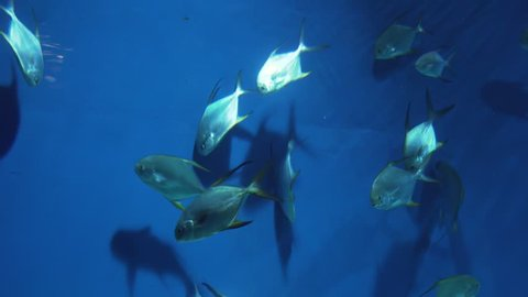 Pompano in the genus Trachinotus in the family Carangidae stock footage video