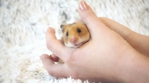 Syrian hamster in hands