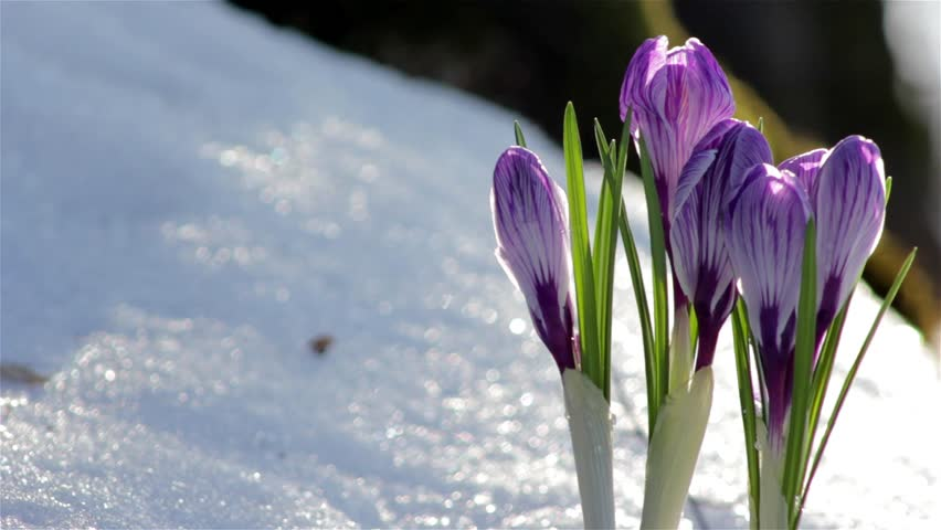 Violet Spring Crocus Flower Beautiful Video De Stock Totalmente