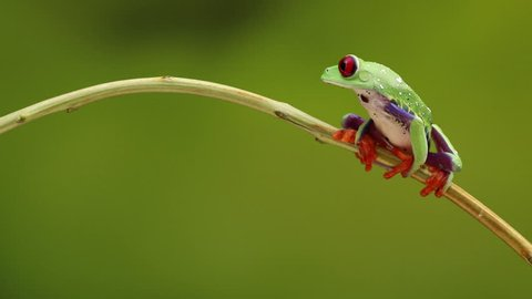 Red Eyed treefrog on twig