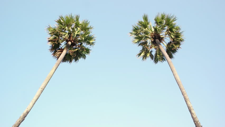 Looking up to the sky and very high tropical palm trees swaying on the wind