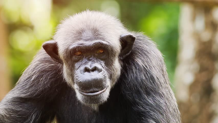 Very cute. adolescent chimpanzee. sits. posing for the camera in his habitat. UltraHD 4k footage