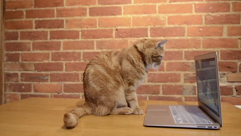 A ginger cat sitting on a table watching and interacting with a laptop