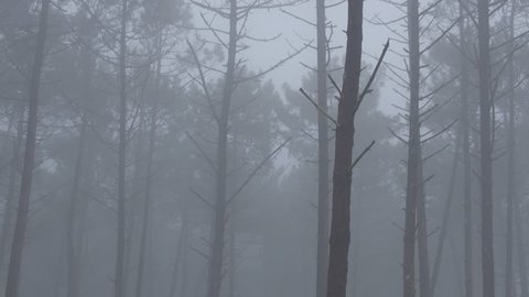 Pan left of a pine tree forest in a densemist and fog during the winter season in Nazare, Portugal