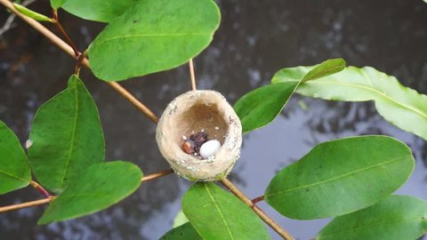 hummingbird nest with one egg and newly hatched baby bird, Costa Rica, Central America, 50fps
