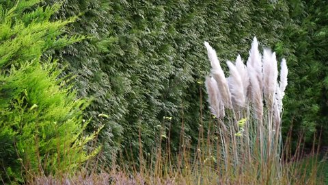 Pampas grass in stormy weather