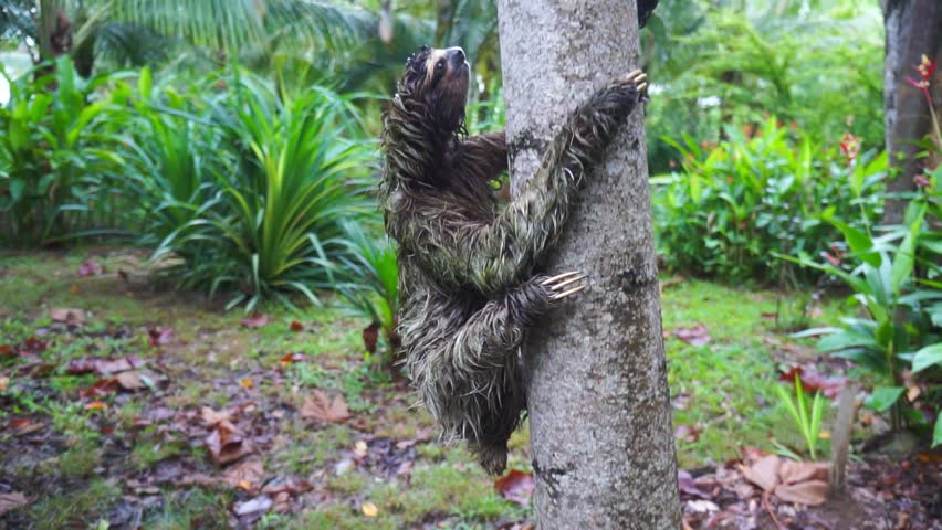 A three-toed sloth climbing on a tree, Panama, Central America, 50fps | Shutterstock HD Video #35060809