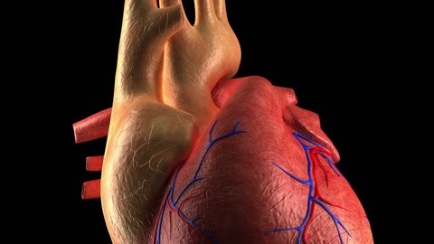 Anatomy of Human Heart Beat - Close-up